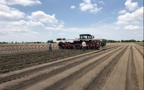 Sweet potato planting by hand- Delhi, LA & Arbyrd, MO